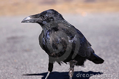 Raven on asphalt road