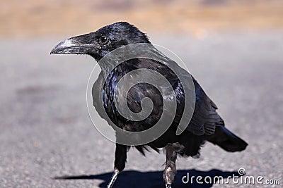 Raven on asphalt road