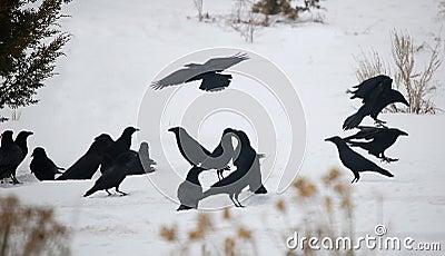 Raven Convention