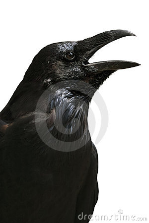 Raven isolated on white background