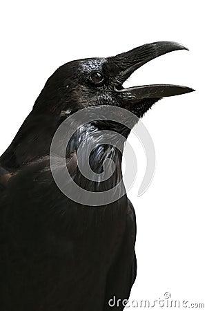 Black raven isolated on white background, Tower of London - UK