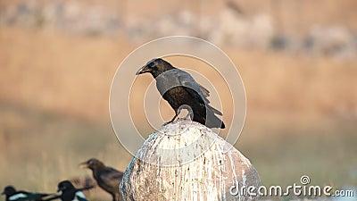 Raven Jumps nordica su roccia archivi video