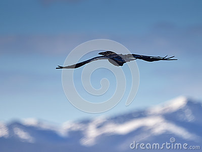 Raven in mountains