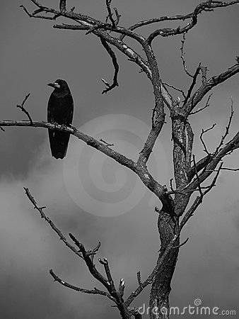 Raven on a tree
