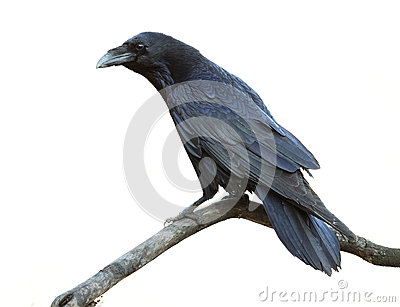 Raven On White Background