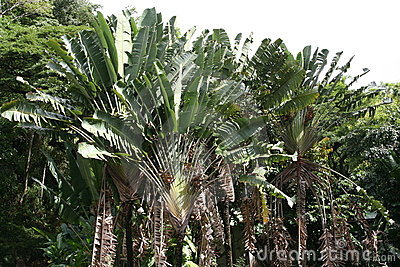 Ravenala Madagascariensis travelers palm fan