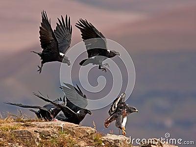 Ravens chasing away a Jackal Buzzard