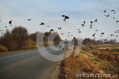 Ravens flock