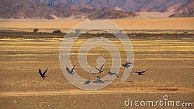 Ravens in namib desert