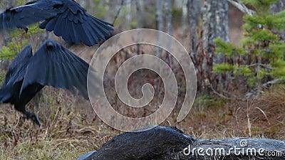 Ravens pikken het lichaam van een mos stock footage
