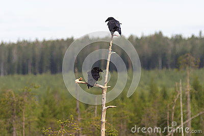 Ravens in tree top