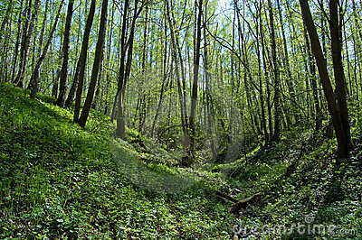 The ravine  in the spring  wood