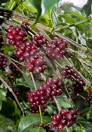 Raw Coffee Beans Cherry Royalty Free Stock Photo - Image: 12361755