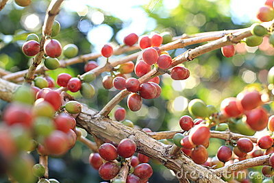 Raw coffee beans cherry