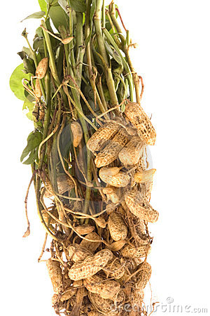 Raw Groundnuts Isolated