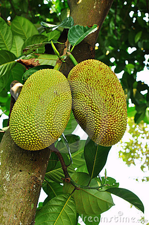 Raw jackfruit on the tree