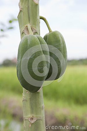 Raw papaya on tree