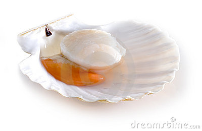 Raw scallop shell