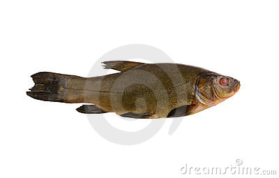 Raw tench isolated
