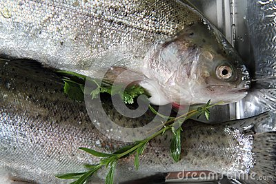 Raw trout fish