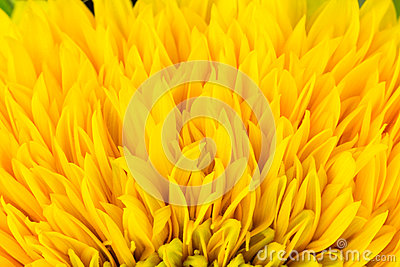 Ray flowers of sunflower, Helianthus annus