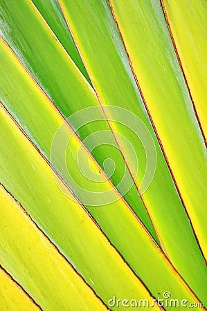 Raya del vástago del plátano