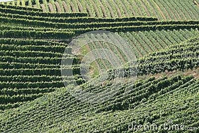 Rayas de los viñedos