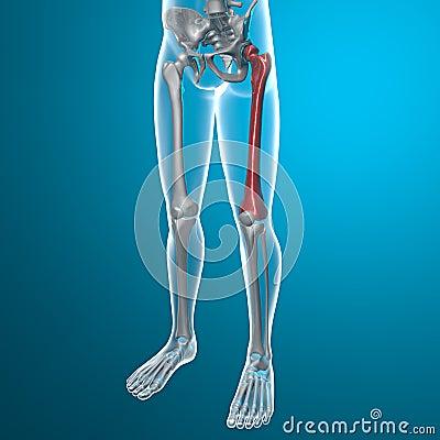 Rayo del fémur X del cuerpo humano y del esqueleto