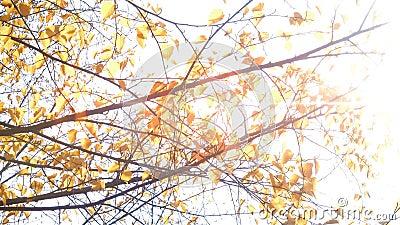 Rayos del sol a través de las hojas amarillas almacen de metraje de vídeo