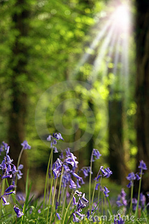 Rays on bluebells