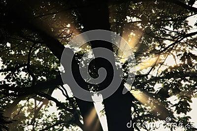 Rays of light through tree