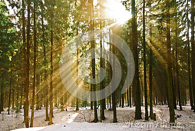 The rays of the sun in the winter pine