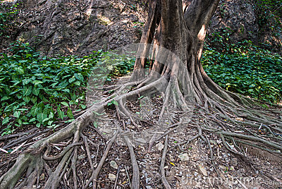 Raíz del árbol