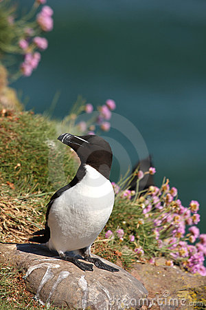 Free Razorbill Stock Photos - 5277473