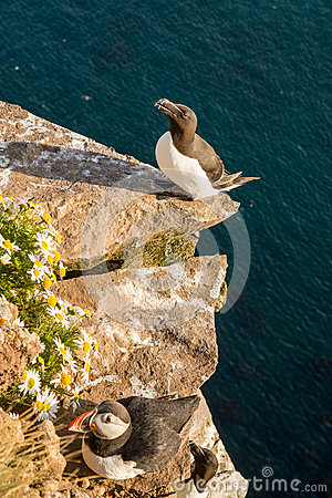 Free Razorbill Bird And Puffin Bird Stock Photo - 59220380