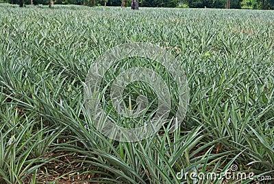 Rbol de la pi a en la granja im genes de archivo libres - Arbol de pina ...