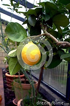 Árbol de limón en un invernadero