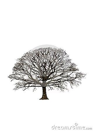 Árbol de roble abstracto del invierno