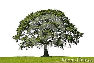 Árbol de roble, símbolo de la fuerza