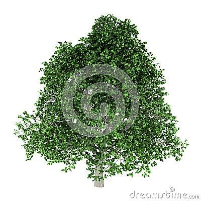 Árbol del Hornbeam aislado en blanco