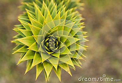 Árbol del rompecabezas de mono de Araucana de la araucaria