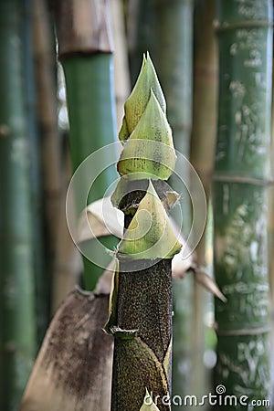 Árbol joven de bambú