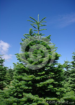 Árboles de pino