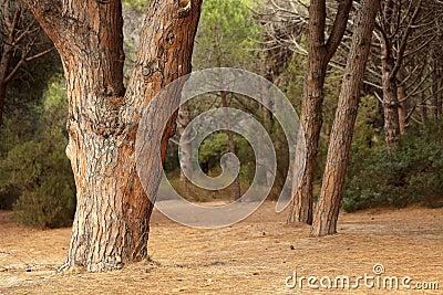 Árboles de pino mediterráneos