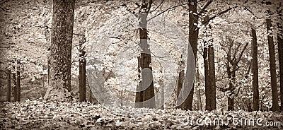 Árboles del otoño, blancos y negros