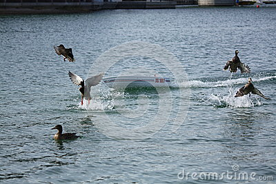 RC Boat Duck Removal Editorial Image