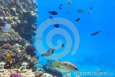 Récif coralien de la Mer Rouge avec les poissons tropicaux