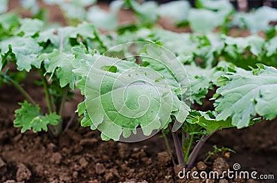 Röda ryska  grönkålväxter