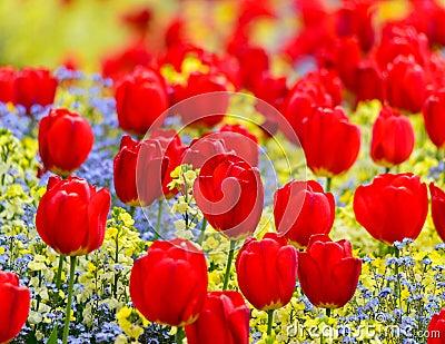 Röda tulpan