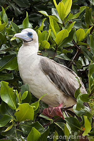 Rdd Footed Booby on Perch